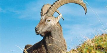 ibex photographed in Gilgit-Baltistan's Khyber valley